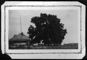 Primary view of object titled '[Huge Walnut Tree, Mt. Vernon, Franklin County, TX]'.