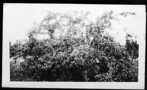 Primary view of object titled '[Plum Tree in Lufkin, TX]'.