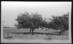 Primary view of object titled '[Apple Tree in Omaha (Morris County) Texas]'.
