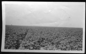 [Cotton field, three miles from house in Houston County]