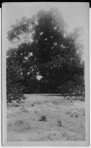 Primary view of object titled '[Pecan tree at home of W.C.Lenehan, Toledo, TX]'.