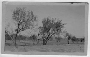 Primary view of object titled '[Peach tree in 60 year old orchard, Titus county. Lee Rhea and County Agent]'.