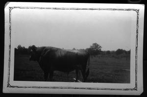 Primary view of object titled '[Bull in pasteur]'.
