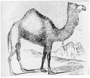 Primary view of object titled '[Example of dromedary used in US Army Camel Corps]'.