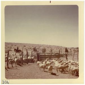 Primary view of object titled '[Sheared sheep roundup]'.