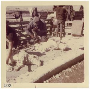 Primary view of object titled '[Sheep being sheared near Marfa]'.