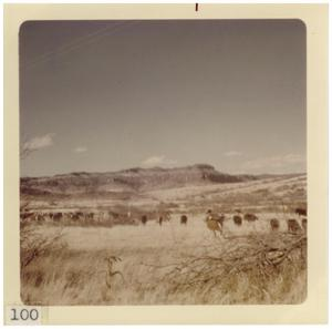 Primary view of object titled '[Head of cattle in a field near Marfa]'.