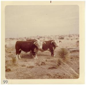 Primary view of object titled '[Two heads of cattle behind barbed wire]'.