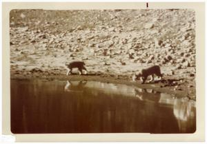 Primary view of object titled '[Two bobcats at Big Bend National Park]'.