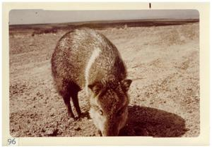 Primary view of object titled '[Javelina at Big Bend National Park]'.