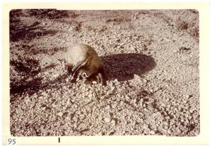 Primary view of object titled '[Badger at Big Bend National Park]'.