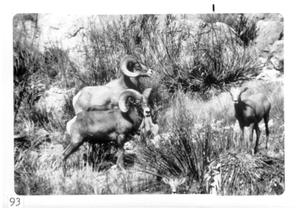 Primary view of object titled '[Bighorn sheep at Big Bend National Park]'.