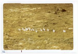 Primary view of object titled '[Antelope herd at Big Bend National Park]'.