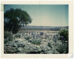 Primary view of object titled '[Bluebonnets along Casa Piedra road]'.