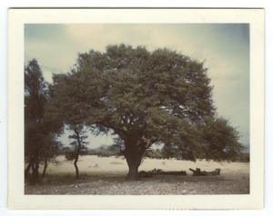 Primary view of object titled '[Photograph of a Tree]'.