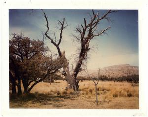 Primary view of object titled '[Photograph of a Dead Tree]'.