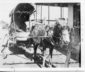 Primary view of object titled '[Mule hitched to covered buggy]'.