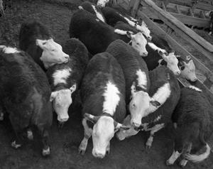 Primary view of object titled '[Herd of Consolidated Calves]'.