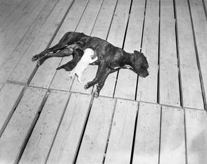 Primary view of object titled '[Bomber Annie and Nursing Pups]'.