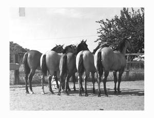 Primary view of object titled 'Five Quarter Horses at Waggoner Ranch'.