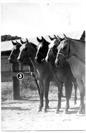 Primary view of object titled 'Colts at the Three D Ranch'.