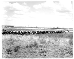Primary view of object titled 'Cattle at the SMS Ranch'.