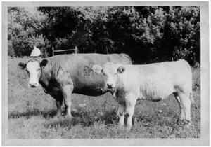 Primary view of object titled 'Amor - The First Simmental Cow to Enter the United States'.