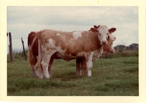 Primary view of object titled 'Simmental Cattle'.