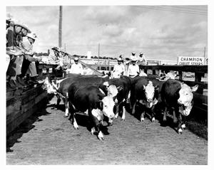 Primary view of object titled 'Cowboys and Cattle at Stockyards'.