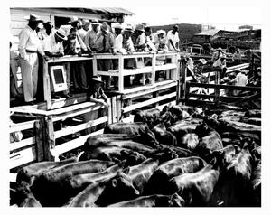 Primary view of object titled 'Cattle in a Pen at a Stock Show'.