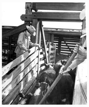 Primary view of object titled 'Loading Cattle into Railroad Cars at the Stockyards'.