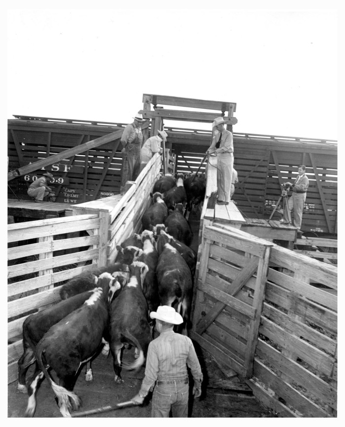 Loading Cattle Into Railroad Cars At The Stockyards The Portal To