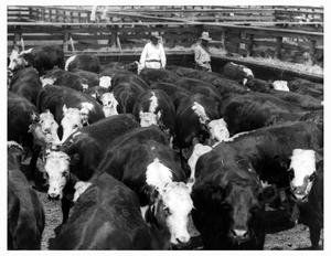 Primary view of object titled 'Two Cowboys in a Crowded Cattle Pen at the Fort Worth Stockyards'.