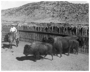 Primary view of object titled 'John Lane with some Buffalo in a Corral'.