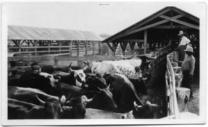Primary view of object titled 'Dipping Longhorns at La Parra Ranch'.