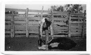 Primary view of object titled 'Dehorning a Calf at the Treadwell Ranch'.
