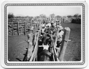 Primary view of object titled 'Tipping Horns of Steers at La Babia Ranch'.