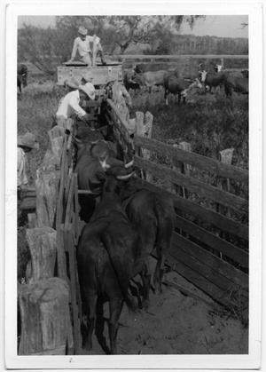 Primary view of object titled 'Robert and Tom East Tipping Cattle Horns'.