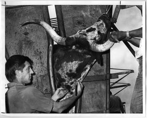 Primary view of object titled 'Implanting a Longhorn'.