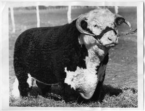 Primary view of object titled 'Publican Domino 44, Hereford Bull'.