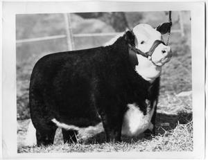 Primary view of object titled 'Champion Steer, San Antonio 1956'.