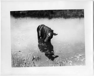 Primary view of object titled 'Colt Stuck in Water'.