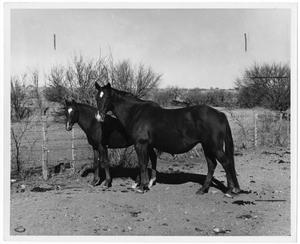 Primary view of object titled 'Two Horses Near a Fence'.
