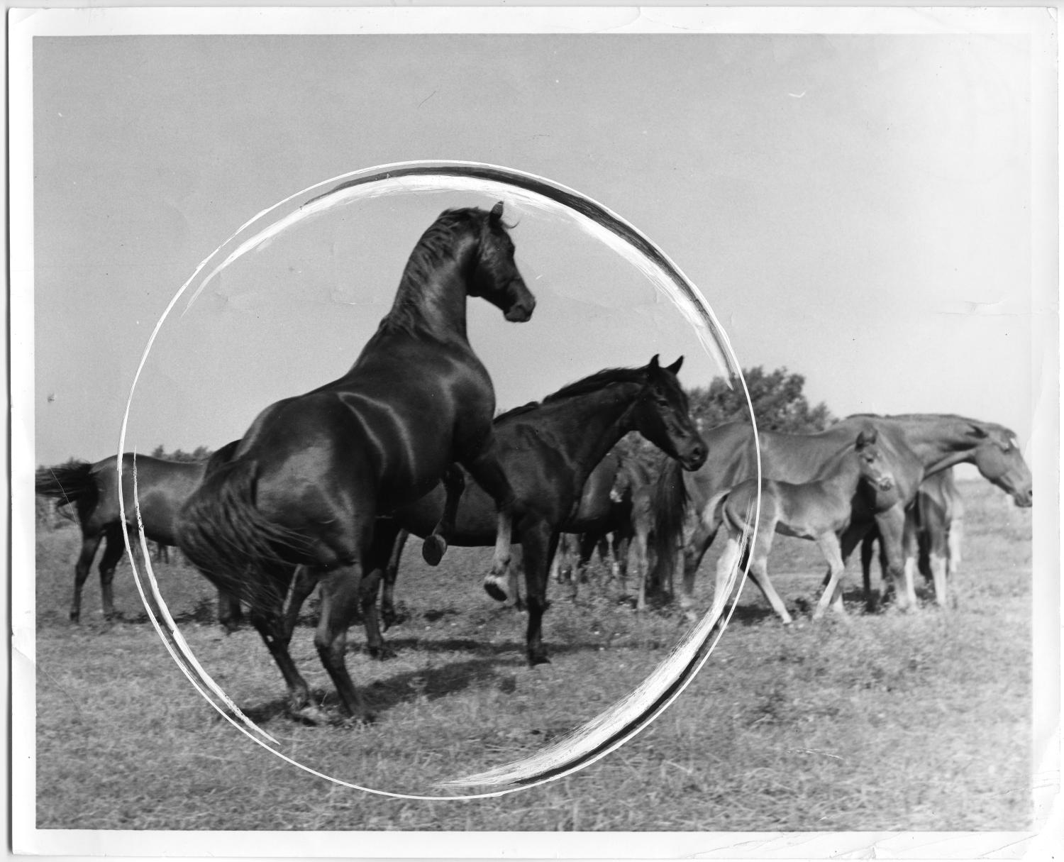 King Ranch Texas >> Horses at King Ranch - Side 1 of 1 - The Portal to Texas History