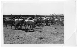Primary view of object titled 'Corral Full of Small Horses'.