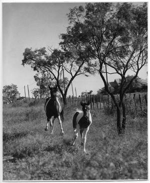 Primary view of object titled 'Paquita and Pronto, a Mare and Colt'.