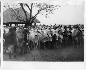 Primary view of object titled 'Brahman Cattle'.