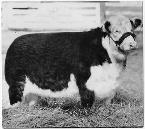 Primary view of object titled 'G.H. Bonita, Champion Polled Hereford Female'.