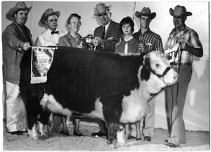 Primary view of object titled 'Miss Silver Mischief 596, Champion Hereford Female'.