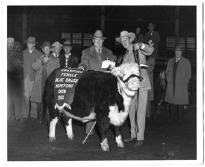 Primary view of object titled 'Champion Female, Blue Grass Hereford Show, 1950'.